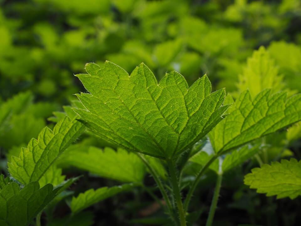 dobre zioła na naszą zmęczoną wątrobę